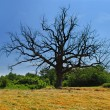 Lonely dry tree — Stockfoto
