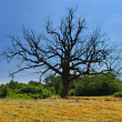 Stock Photo: Lonely dry tree