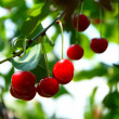 Growing cherries — Stockfoto