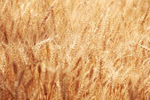 Wheat field background — Stock Photo
