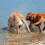 Golden retrievers bathing — Stock Photo #6514739