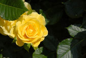 Yellow rose over dramatic shadow — Stock Photo