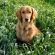 Dog in grass - Foto Stock