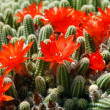 Cactus red flowers — Stock Photo