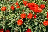 Cactus red flowers — Stock Photo