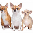 Three chihuahua dogs — Stock Photo
