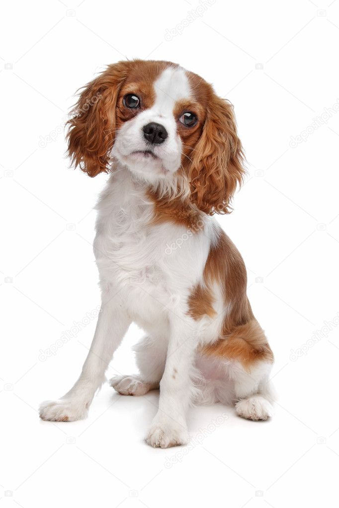 Cavalier King Charles Spaniel in front of a white background  Stock Photo #5574615