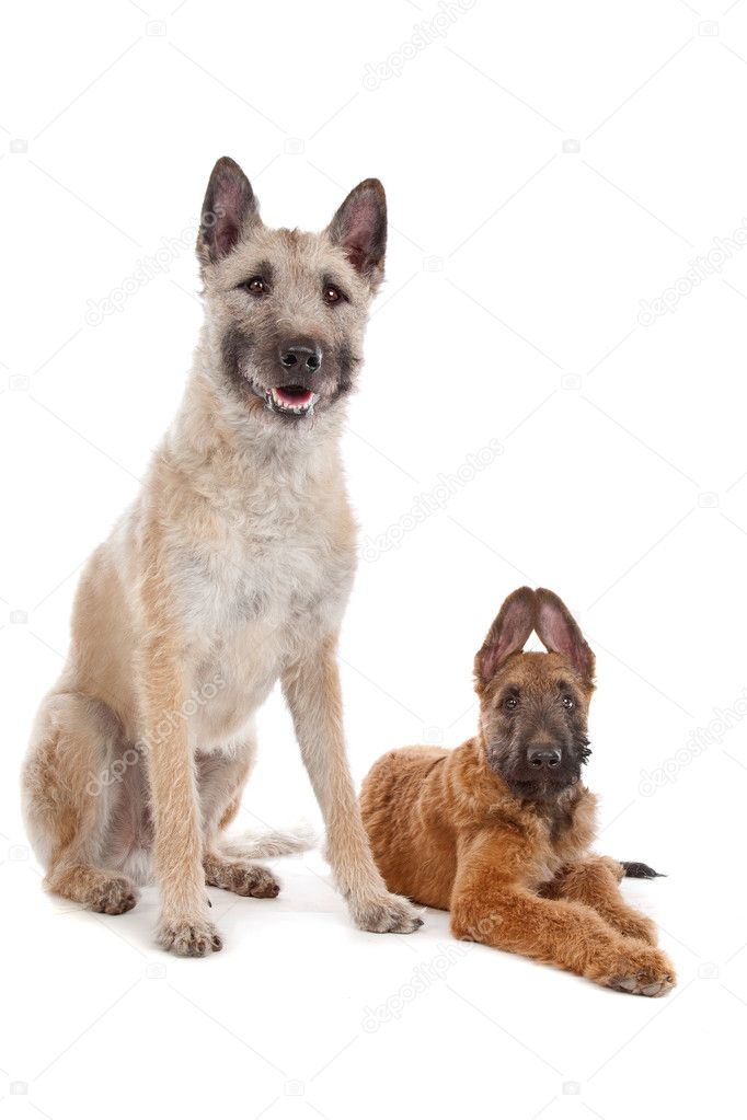 Belgian Shepherd Dog (Laekenois) in front of a white background  Stock Photo #6359186