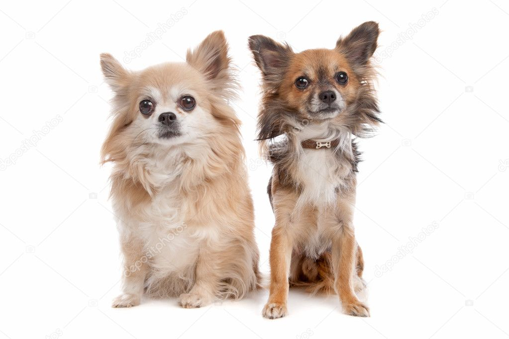 Long haired chihuahua | Stock Photo © Erik Lam #6359702