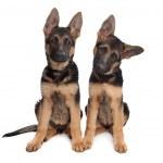 Two German shepherd puppies — Stock Photo