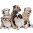 Three Border Terrier dogs and two Shih Tzu dogs — Stock Photo #6372536