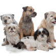Three Border Terrier dogs and two Shih Tzu dogs — Stock Photo #6372573