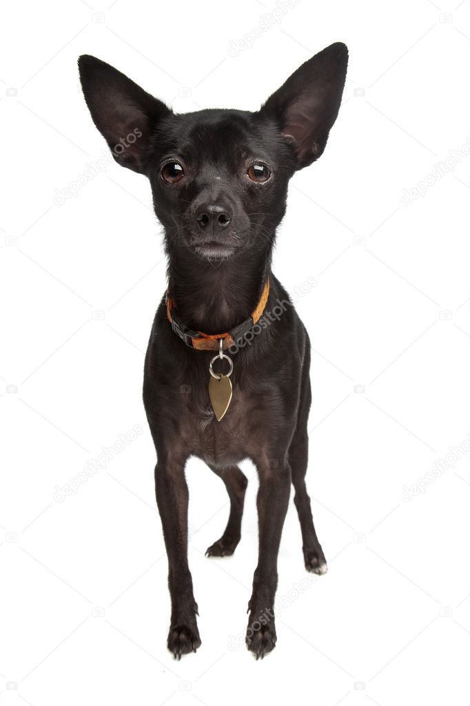 Miniature Pinscher Chihuahua Mix