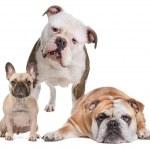 The Bulldog Family — Stock Photo