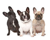 Three French Bulldogs in a row — Stock Photo