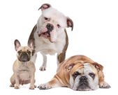 The Bulldog Family — Stock Photo