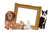 Group of pets standing around a golden picture frame — Stock Photo