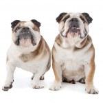 Two English bulldogs — Stock Photo #6586111