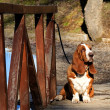 Basset hound on wooden bridge — Stock Photo