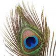 Detail of peacock feather - Stock Photo