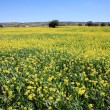 Rows and rows of mustard flowers — Stock Photo #6221510