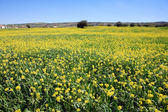 Rows and rows of mustard flowers — Stock Photo