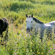 White Andalucian horses in overgrown field in Spain - Stockfoto