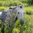White Andalucian horse in overgrown field in Spain -  