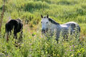 White Andalucian horses in overgrown field in Spain — Stock Photo