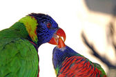 One green colorful parrot feeding another parrot close up — Stock Photo