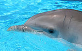 Head shot of Dolphin in crystal blue waters at a show in Spain — Stock Photo