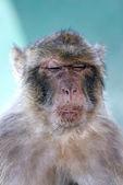 猿またはバーバリ サル顔に面白い外観 — ストック写真