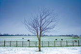 Lone tree next to a wintery field with black sheep — Stock Photo
