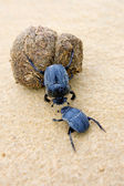 Two dung beetles battling with a large dung ball — Stock Photo