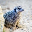 Royalty-Free Stock Photo: Small meerkat on the lookout for danger