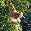Strange looking furry monkey hanging in a tree - Stock Photo