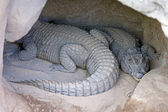 Two Alligators or crocodiles asleep in a cave — Stock Photo