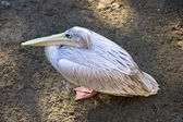 Birds eye view of large pelican with long yellow beak — Stock Photo