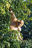 Strange looking furry monkey hanging in a tree — Stock Photo