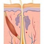 ilustrace anatomie struktury lidské vlasy — Stock vektor