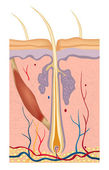 Human hair structure anatomy illustration — Vettoriale Stock