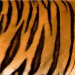 Animal Tiger Texture. Vector — Stock Vector