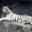 White tiger — Stock Photo #5380394