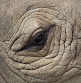 Rhinoceros Eyes — Stock Photo