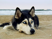 Siberian Husky on the beach — Stock Photo