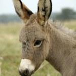 Постер, плакат: Baby Donkey