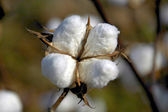 Cotton Boll 3 — Stock Photo