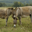 Donkeys — Stock Photo