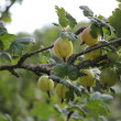 Gooseberries — Stock Photo #6098392