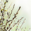 Floral Border of Pussy Willow Flowers — Stock Photo